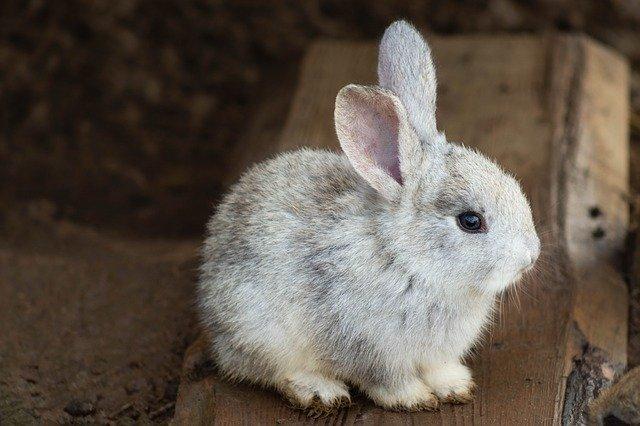 durée de vie lapin nain